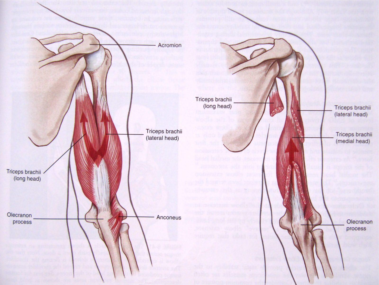 Anatomija tricepsa